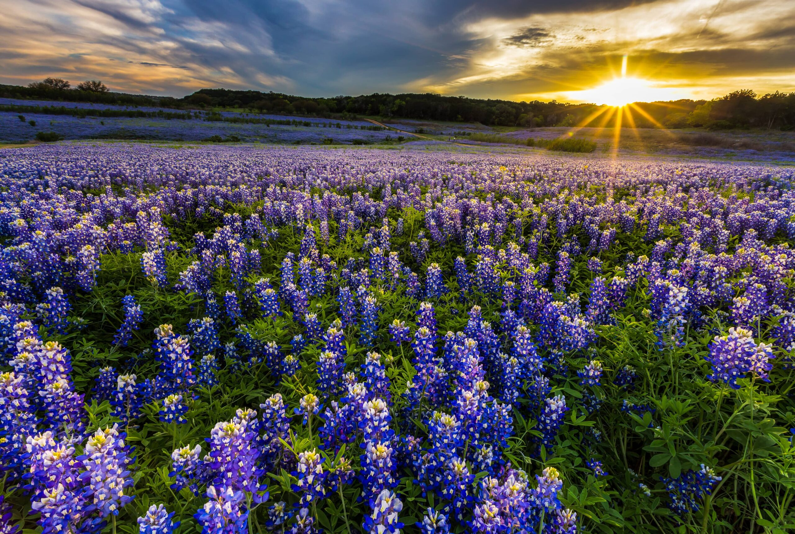 Large meadow field of Texas bluebonnets at sunrise